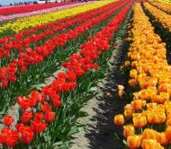 Tulips and Trucks Tour with Cheryls Northwest Tours