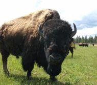 Come Feed the Buffalo