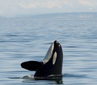 San Juan Island Whale and Wildlife Tours